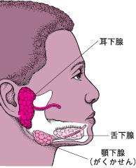 耳下腺.jpg