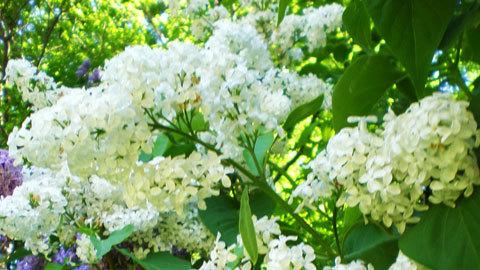 lilac-white-2.jpg